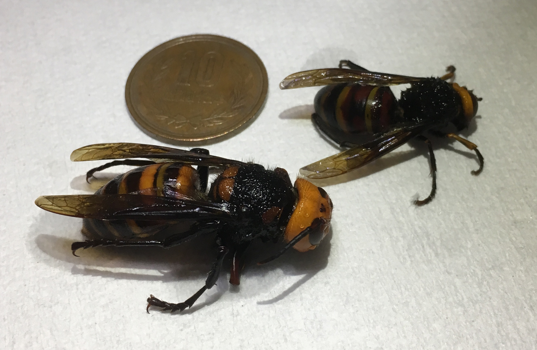 天敵 オオスズメバチ ツマアカスズメバチVSオオスズメバチ 最大の天敵は人間だった!